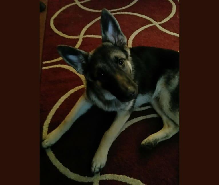 Photo of Luke, a German Shepherd Dog  in Calvert City, Kentucky, USA