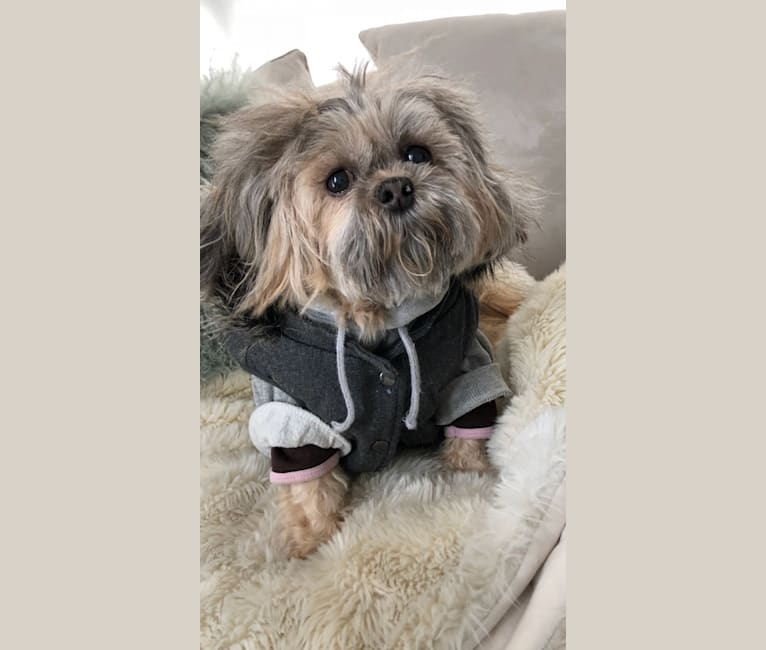 Photo of Suki, a Shih Tzu, Maltese, and Poodle (Small) mix in Toronto, ON, Canada