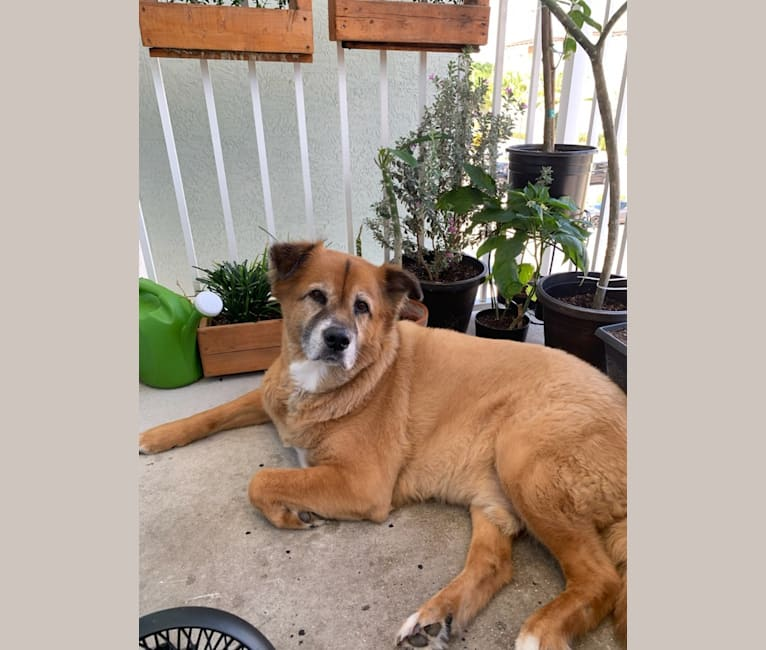 Photo of Tom Fuller, an Akita, American Pit Bull Terrier, Chow Chow, German Shepherd Dog, and Mixed mix in Jupiter, Florida, USA