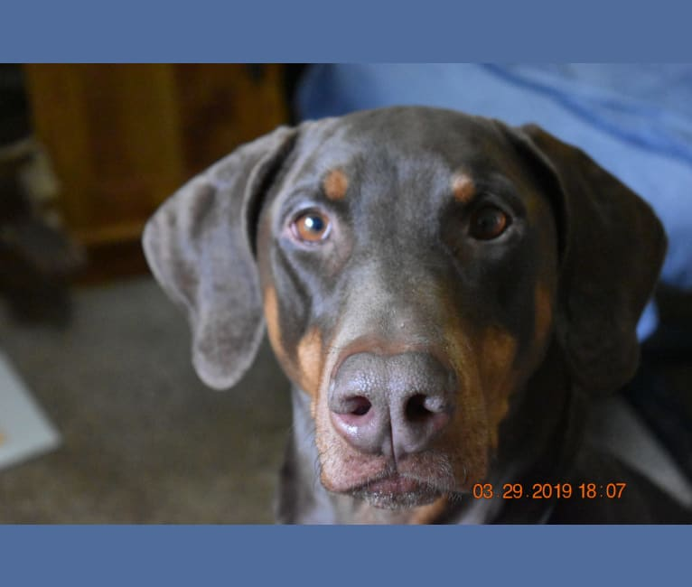 Photo of Dobie, a Doberman Pinscher  in Simpsonville, South Carolina, USA