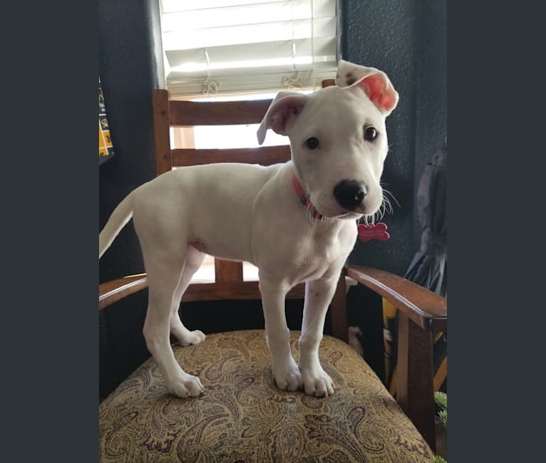Photo of Avery, an American Pit Bull Terrier, Boxer, Shetland Sheepdog, and Chow Chow mix