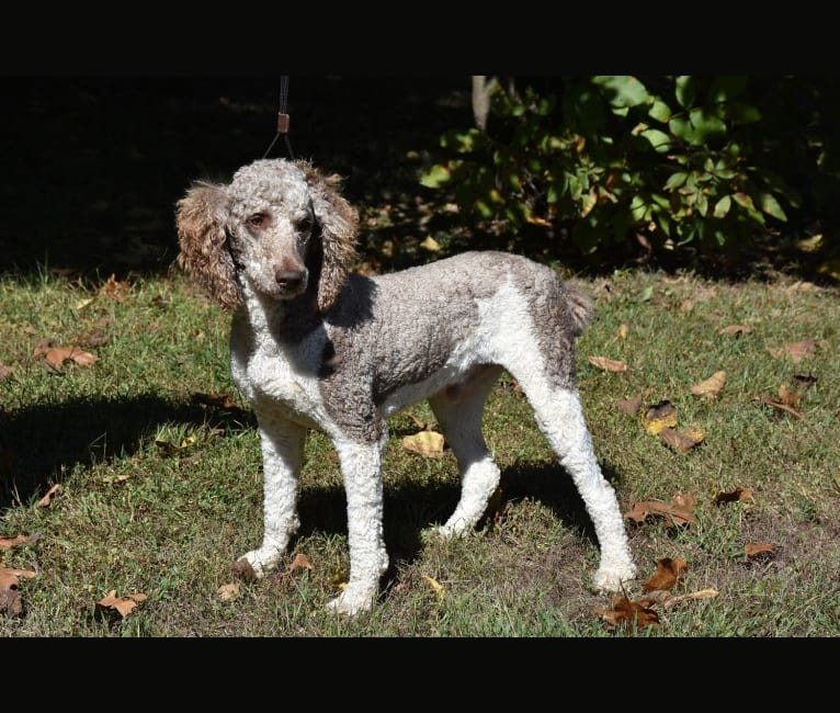 Photo of Bailey, a Poodle (Standard)