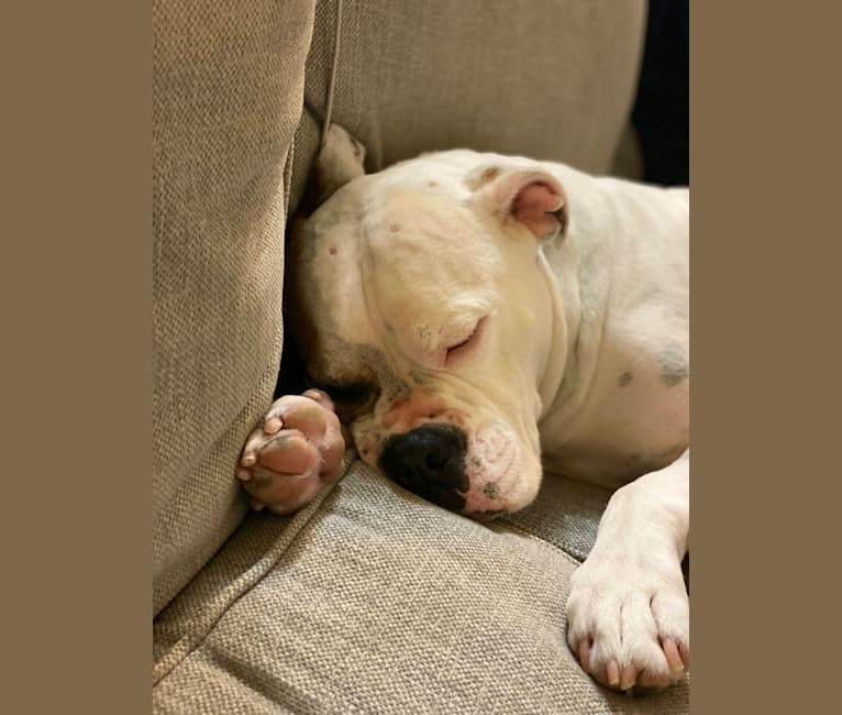 Photo of Kobe, a Bulldog, American Pit Bull Terrier, and American Staffordshire Terrier mix in Palm Springs, California, USA