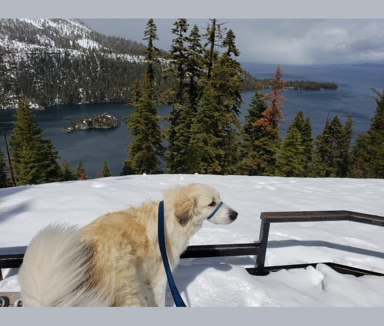 Photo of Everest, a Great Pyrenees  in California, USA