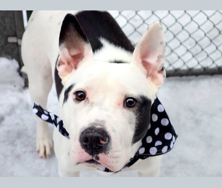 Photo of Mouse Lola Piglet, an American Bully  in New York, USA