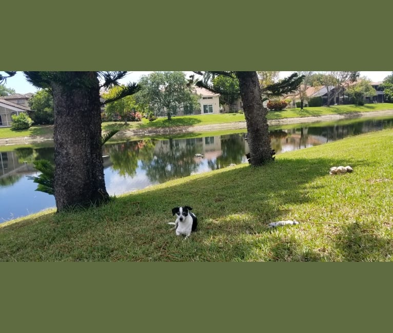 Photo of Maverick, a Chihuahua, Poodle (Small), Miniature Pinscher, and Mixed mix in Parkland, Florida, USA