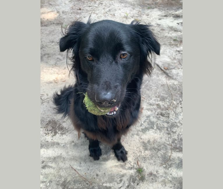 Photo of Leo, a Labrador Retriever, German Shepherd Dog, Chow Chow, and Mixed mix in Conway, SC, USA