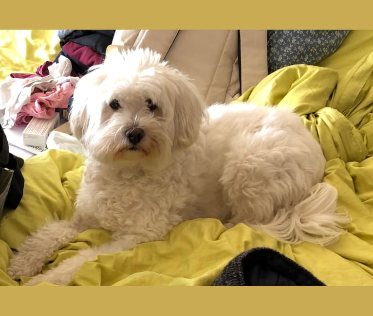 Photo of Casper, a Bichon Frise and Maltese mix in Auvergne-Rhône-Alpes, France