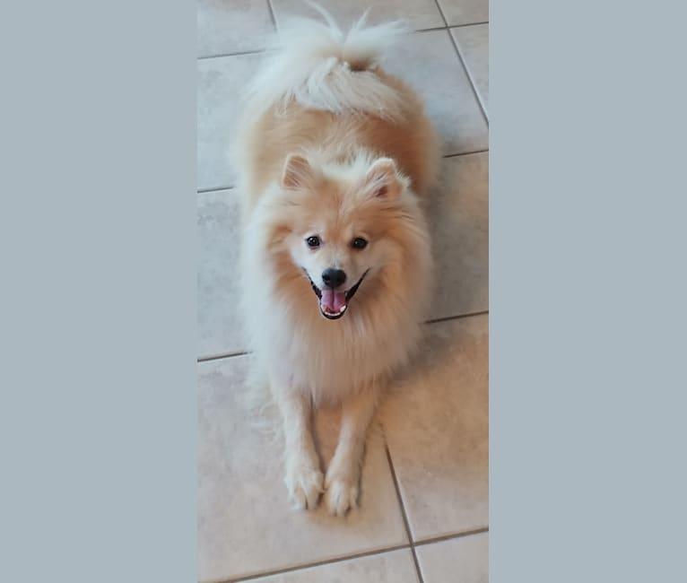 Photo of Yogi, a Pomeranian  in Venice, Florida, USA