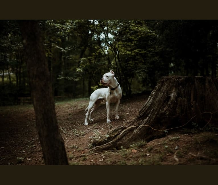 Photo of Björn, a Dogo Argentino