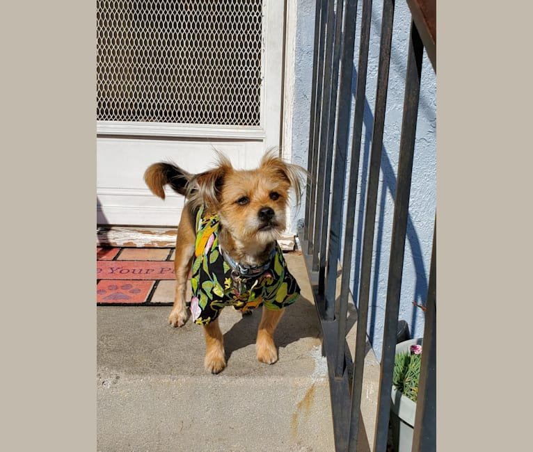 Photo of Skipper, a Yorkshire Terrier, Maltese, Lhasa Apso, and Pomeranian mix in Burbank, California, USA