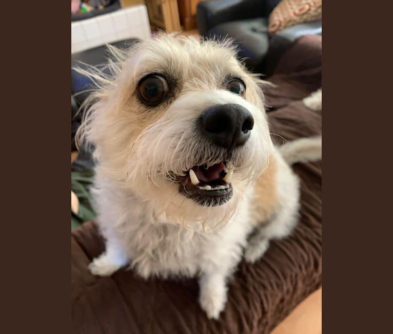 Photo of Pippa, a Poodle (Small), Chihuahua, and Shih Tzu mix in San Bernardino, California, USA