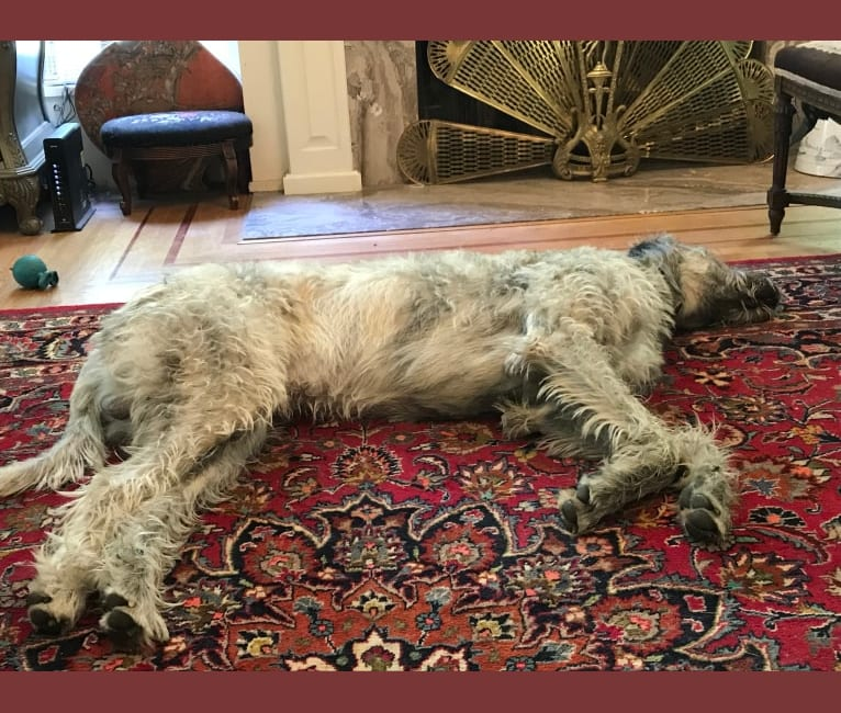 Photo of Winter, an Irish Wolfhound  in Santa Rosa, California, USA