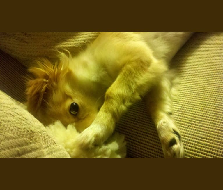 Photo of Layla Grossman, a Chihuahua and Pomeranian mix in Los Angeles, California, USA