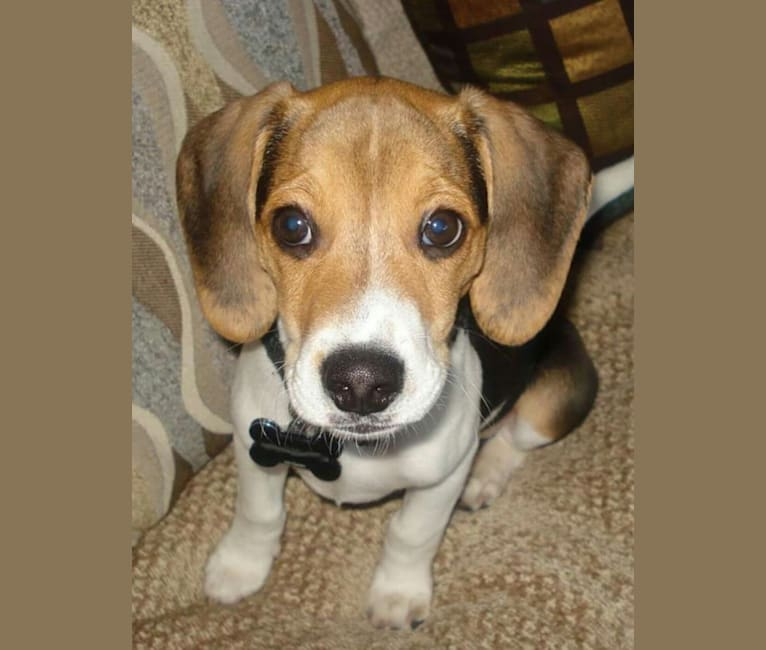 Photo of Edward, a Beagle and Russell-type Terrier mix in West Liberty, Kentucky, USA