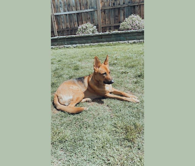 Photo of Maui, a German Shepherd Dog  in Sacramento, California, USA