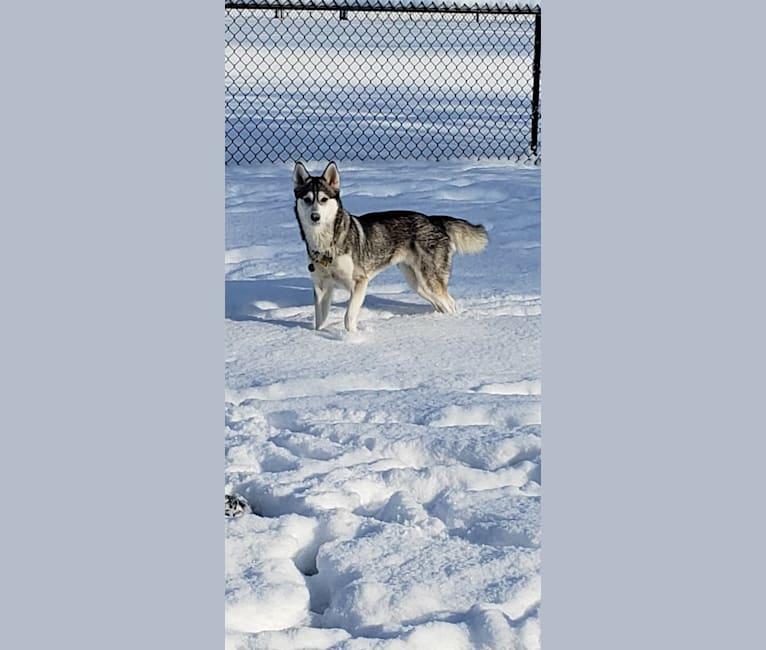 Photo of Bella, a Siberian Husky  in Ellensburg, Washington, USA
