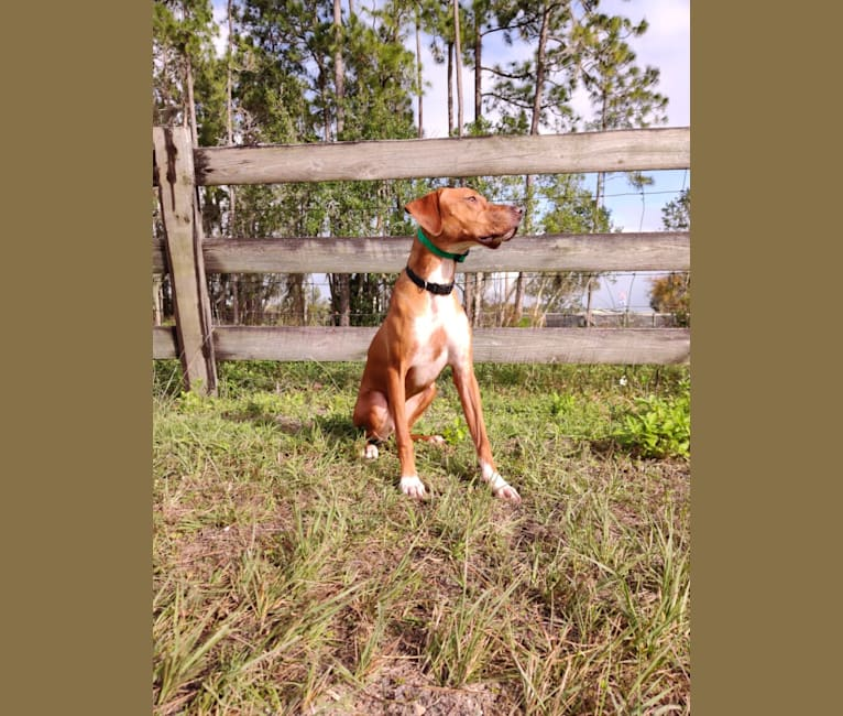 Photo of Tula, a Pointer and Llewellin Setter mix in Alabama, USA