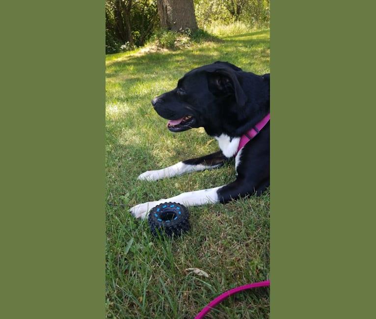 Photo of Daisy, a Boxer, Labrador Retriever, and German Shepherd Dog mix in New York, USA