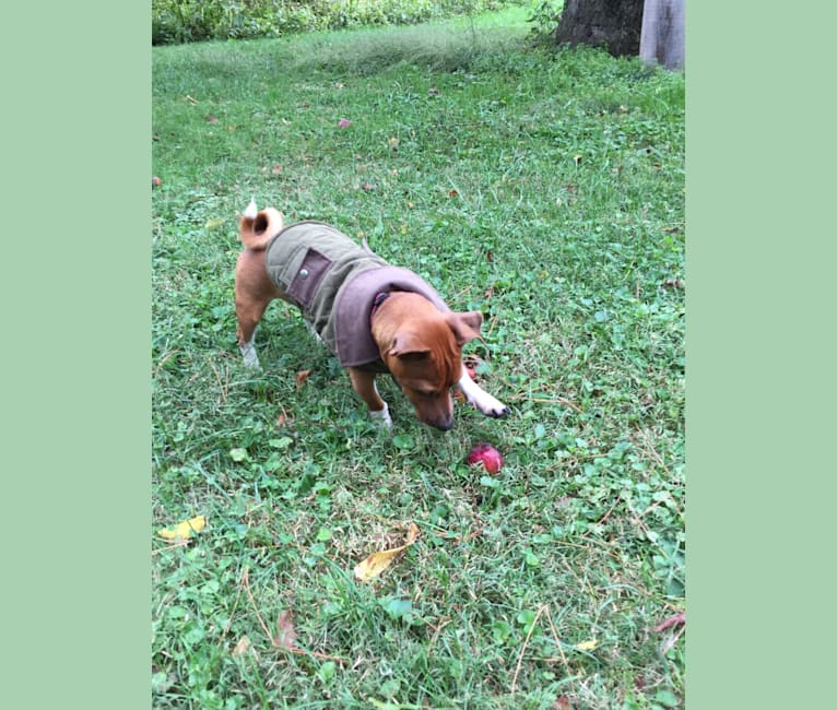 Photo of Romeo, a Taco Terrier  in Zanesville, Ohio, USA