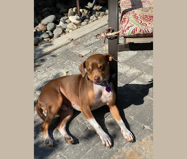 Photo of Max, a Chihuahua, Miniature Pinscher, Russell-type Terrier, and Mixed mix in Roseville, California, USA