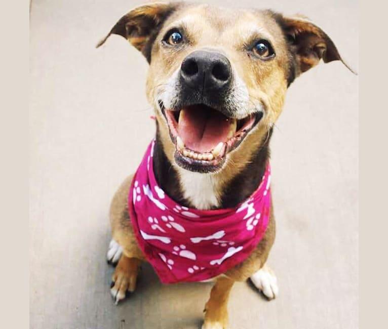Photo of Callie, a Labrador Retriever, Chow Chow, Rottweiler, American Pit Bull Terrier, Miniature Pinscher, and Mixed mix in Arizona, USA