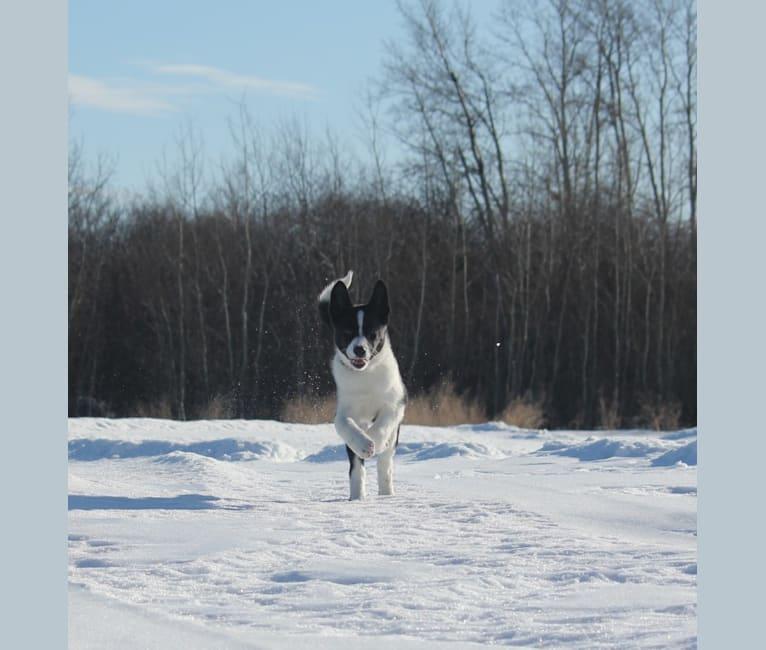 Photo of Rohmoivan Evita, a Karelian Bear Dog  in Salla, Finland