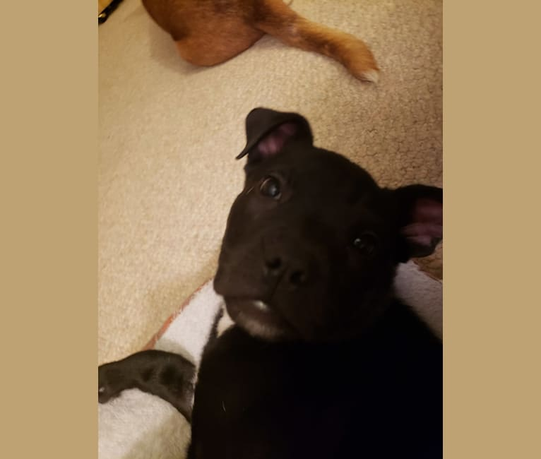 Photo of Pepper, an American Pit Bull Terrier, American English Coonhound, and Mixed mix in Kokomo, Indiana, USA