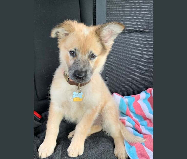 Photo of Korra, a German Shepherd Dog, Australian Cattle Dog, American Pit Bull Terrier, and Chow Chow mix in Texas, USA