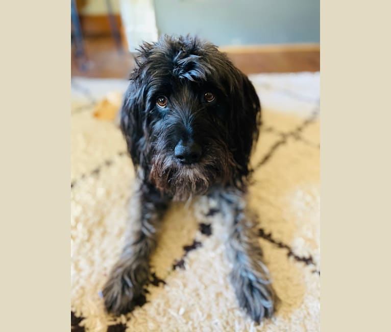 Photo of Radar, a Cocker Spaniel, American English Coonhound, and Poodle (Small) mix in California, USA
