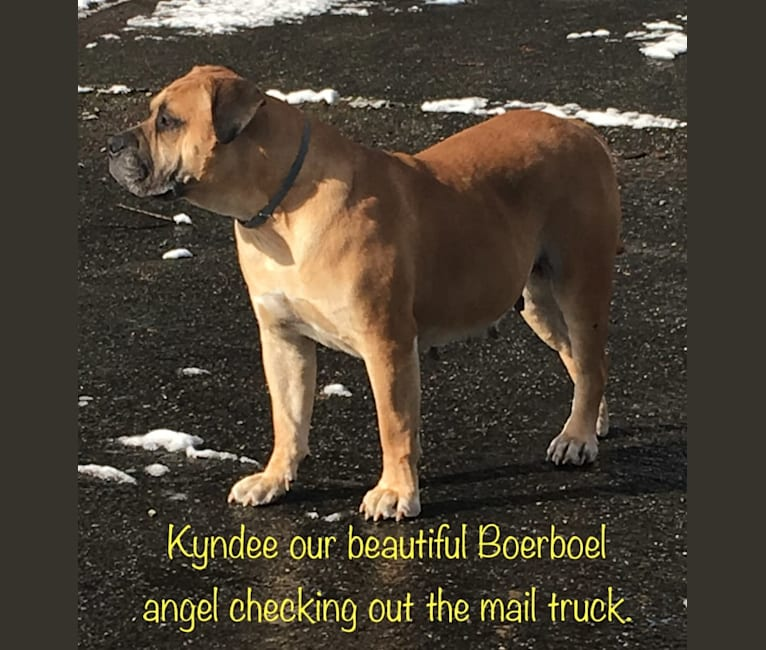Photo of Kyndee, a Boerboel  in Spanaway, Washington, USA
