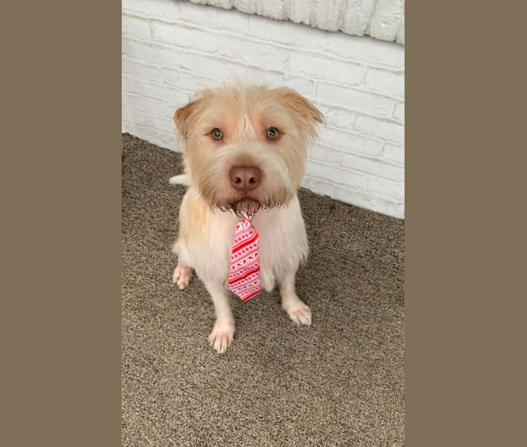 Photo of Mulligan, an American Pit Bull Terrier, Lhasa Apso, Pomeranian, and Mixed mix in Reading, Pennsylvania, USA