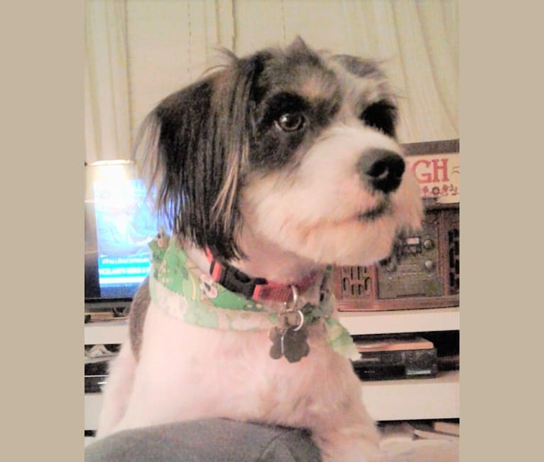 Photo of Schnappsie, a Cavalier King Charles Spaniel and Miniature Schnauzer mix in Frankford, MO, USA