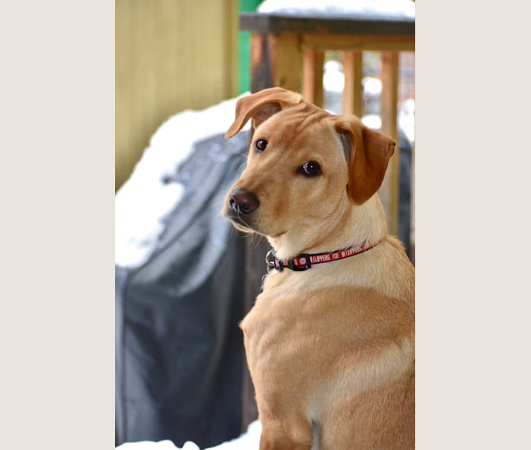 Photo of Finley, an American Pit Bull Terrier, German Shepherd Dog, Chow Chow, and Mixed mix in Escondido, California, USA