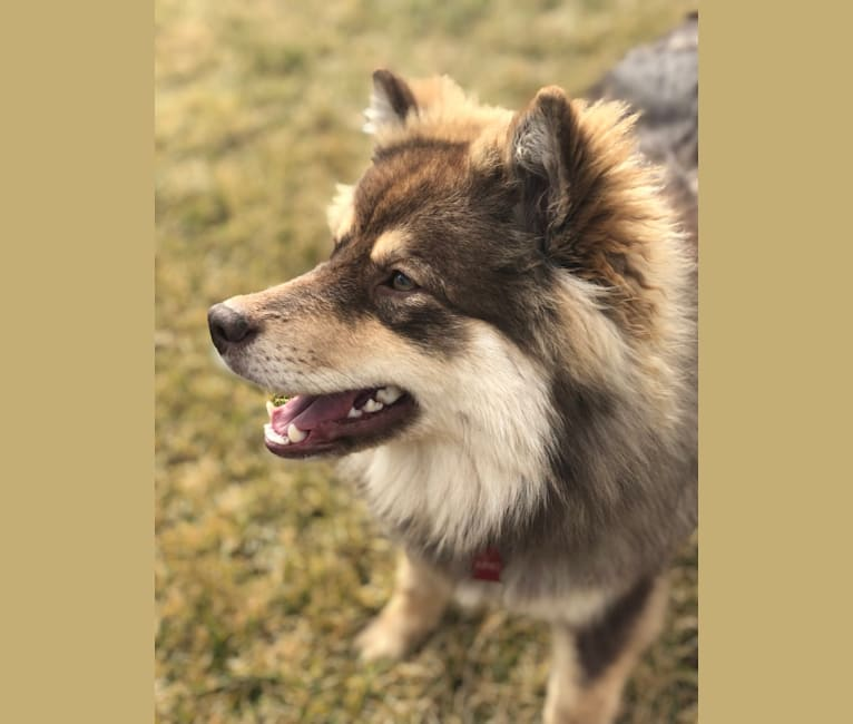 Photo of Juno, a Finnish Lapphund  in Binghamton, NY, USA