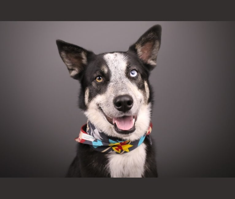 Photo of Luna, a Siberian Husky, Australian Cattle Dog, German Shepherd Dog, and Mixed mix in New Mexico, USA