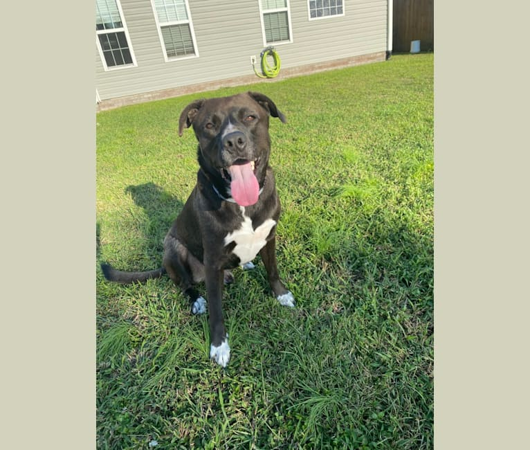 Photo of Colby Kremer, an American Pit Bull Terrier, Akita, and Mixed mix