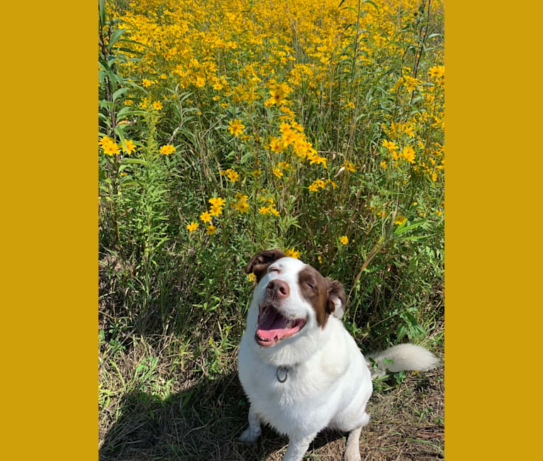 Photo of Jack, a Labrador Retriever, Australian Shepherd, Australian Cattle Dog, American Pit Bull Terrier, and Mixed mix in Villa Park, Illinois, USA