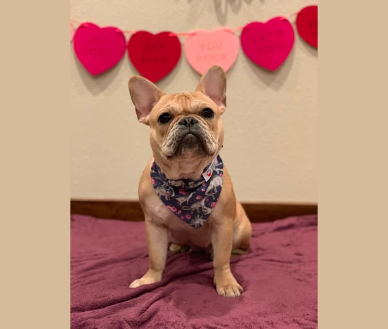 Photo of Bulma Mae, a French Bulldog  in Marshfield, MO, USA