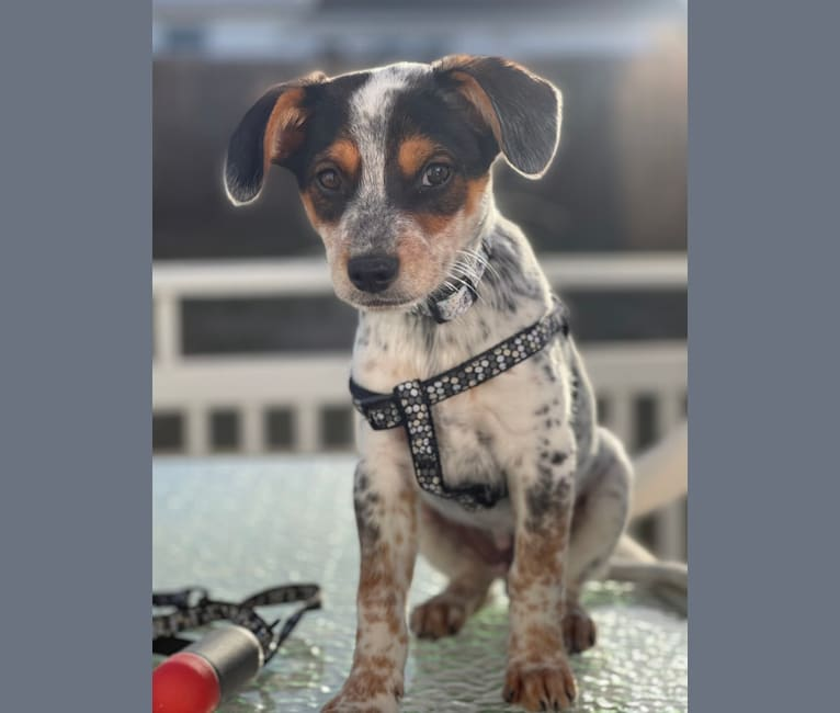 Photo of Blue, an Australian Cattle Dog, Chihuahua, Rat Terrier, and Mixed mix in Texas, USA