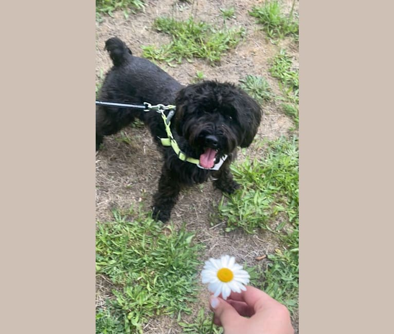 Photo of Maxwell (Supaypawawa), a Miniature Schnauzer and Silky Terrier mix in Hazel Dell, Washington, USA