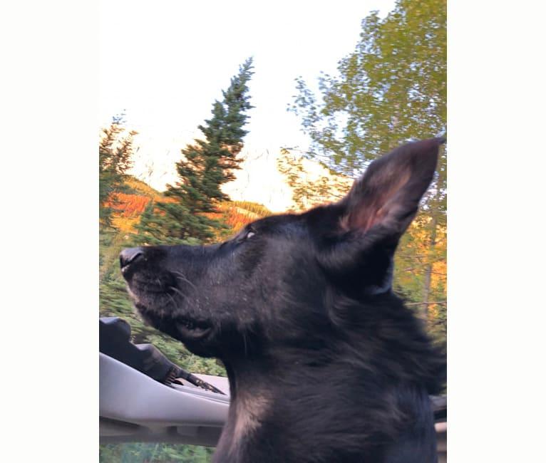 Photo of Bear, a German Shepherd Dog, Siberian Husky, Alaskan Malamute, and Mixed mix in Black Lake, Saskatchewan, SK, Canada