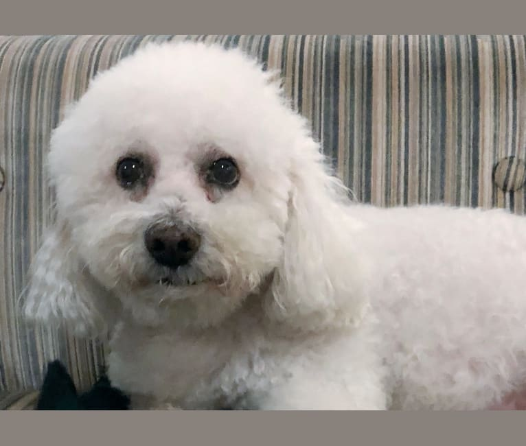 Photo of Toodles, a Bichon Frise  in Denton, Maryland, USA