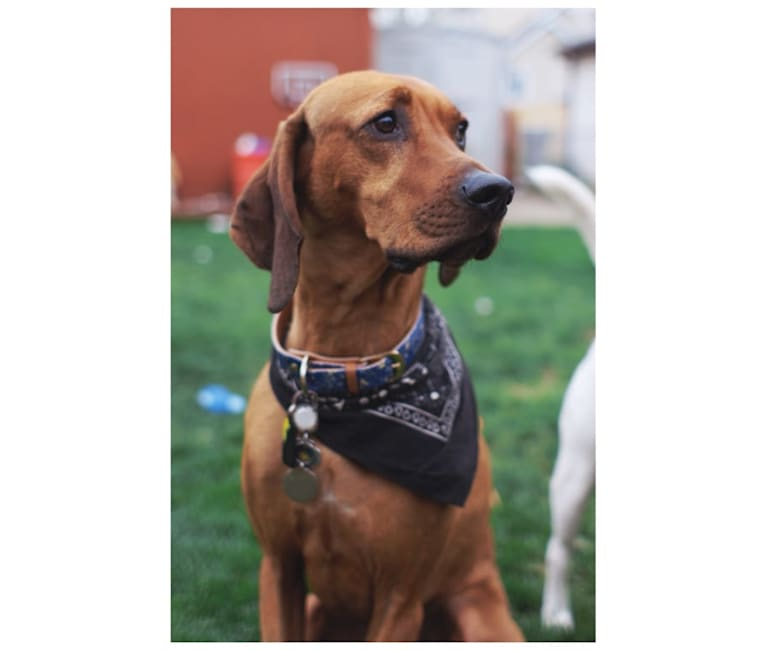 Photo of Penny, a Black and Tan Coonhound and Redbone Coonhound mix in Hazard, KY, USA