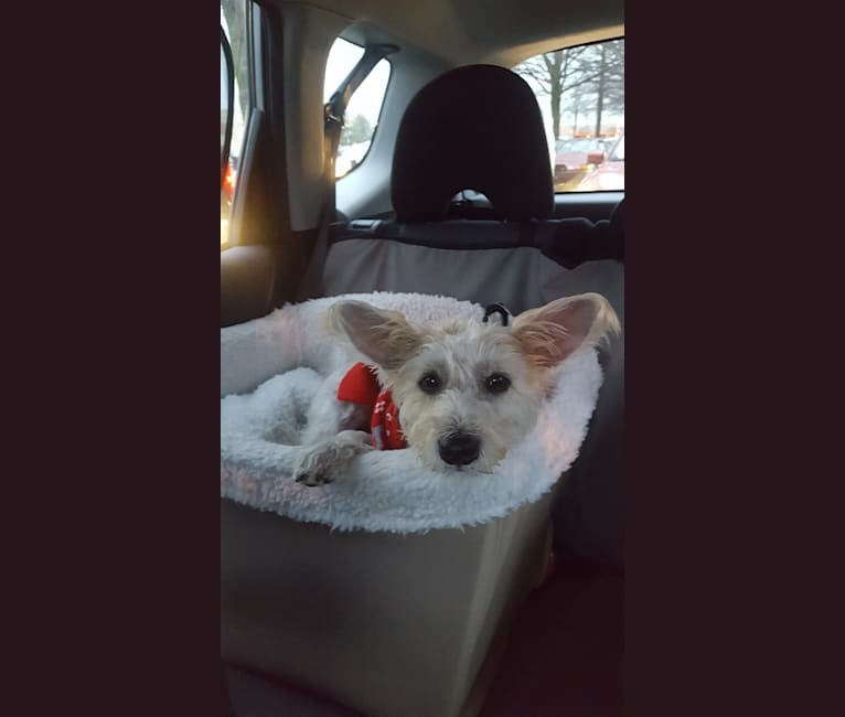 Photo of Mr. Beasley, a Miniature Schnauzer, Russell-type Terrier, and Chihuahua mix in Knoxville, Tennessee, USA