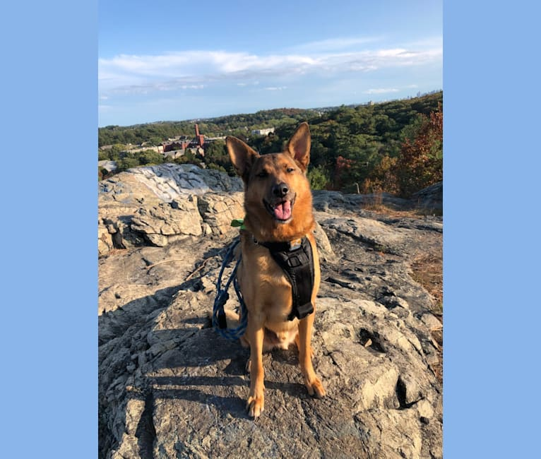 Photo of Oakley, a German Shepherd Dog and Chinese Shar-Pei mix in Oklahoma, USA