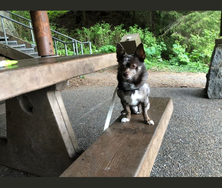 Photo of Buddy, a Pomchi  in Juneau, AK, USA