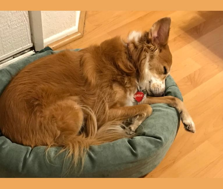 Photo of Sadie, an American Pit Bull Terrier, Chihuahua, Chow Chow, Poodle (Small), German Shepherd Dog, and Mixed mix in Los Angeles, California, USA
