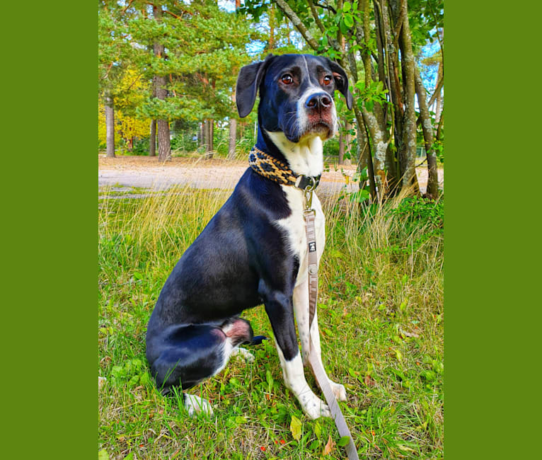 Photo of Filo, an English Setter, American Pit Bull Terrier, Pointer, and Mixed mix in Kreikka