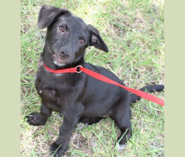 Photo of Kona, a Labrador Retriever, German Shepherd Dog, Rat Terrier, and Chihuahua mix in San Antonio, Texas, USA